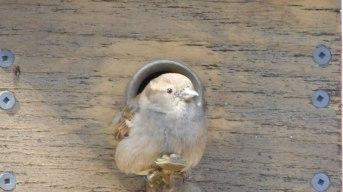 sparrow-bird